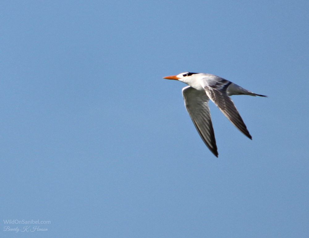 Royal Tern on a mission!