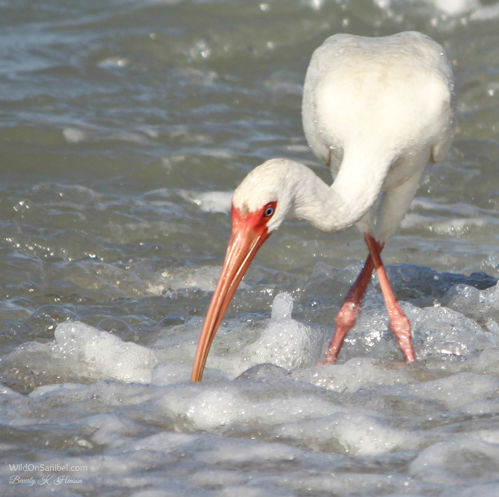 This is how you do the Ibis dance!