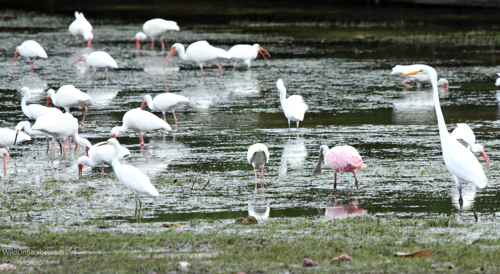 I love to see the Roseate Spoonbill birds.  The pink really stands out!