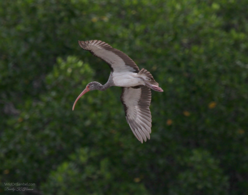 Ibis coming in for a landing!