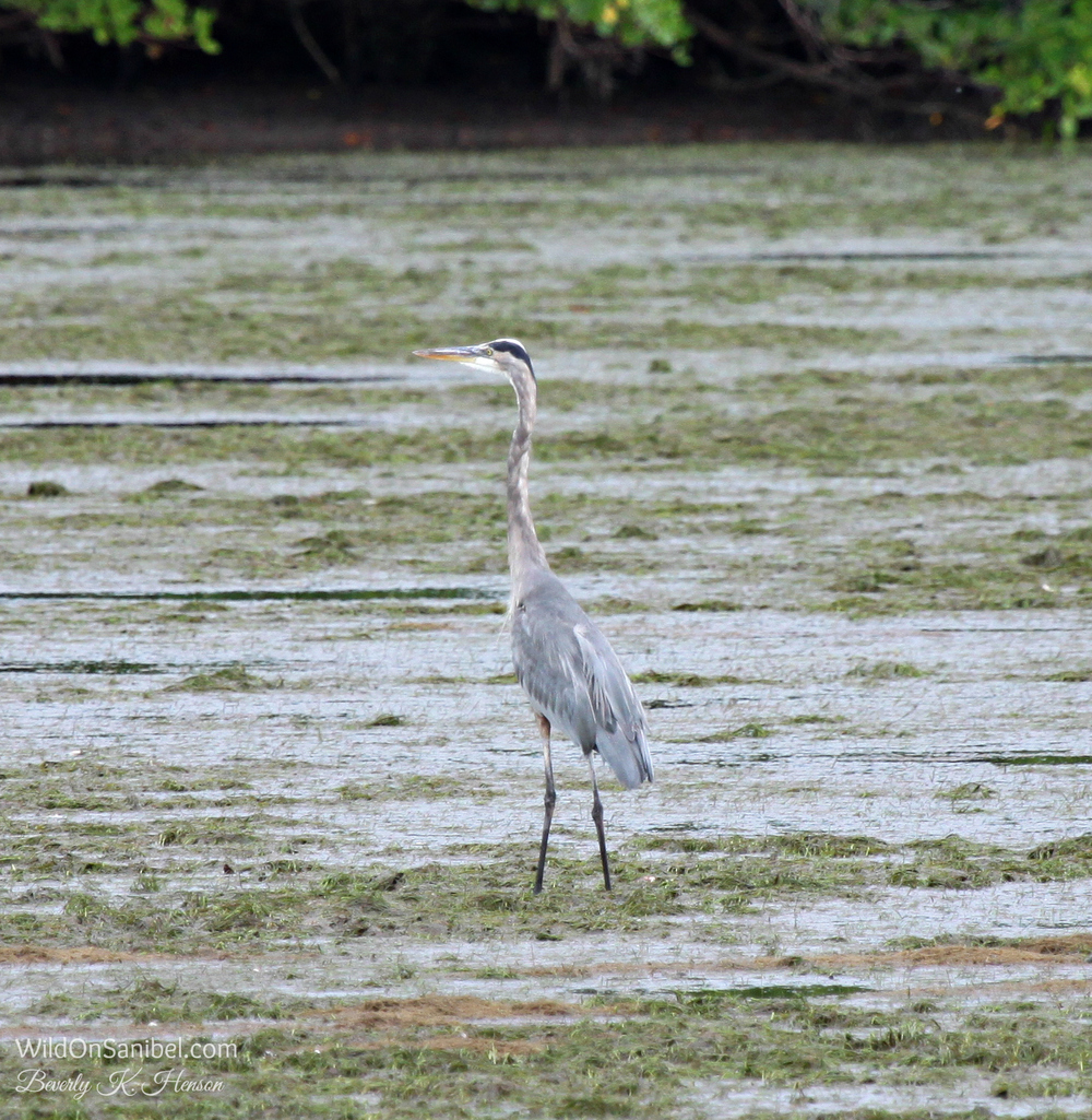 The Great Blue Heron is my second favorite bird after the Roseate Spoonbill.