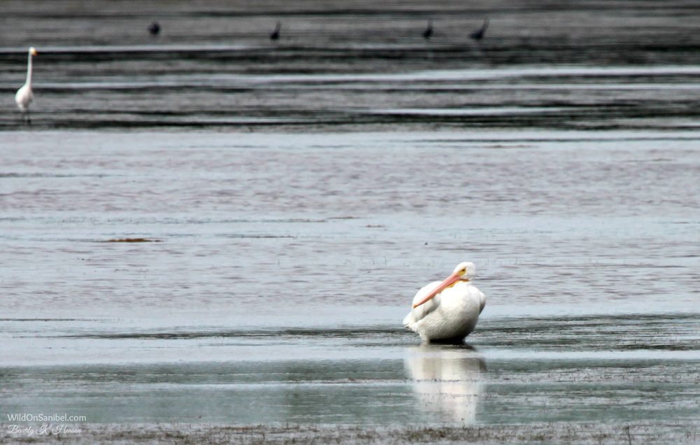 I had to look closely to figure out that this is a very plump White Pelican.  He was really too far away to photograph, but this is the first one we've seen this season.  So, I had to post it!