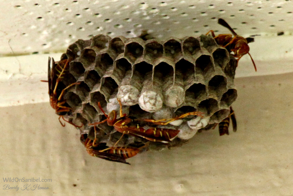 These wasps had started a nest in the eaves of the house.  My husband ruined their day shortly after I took this pic!