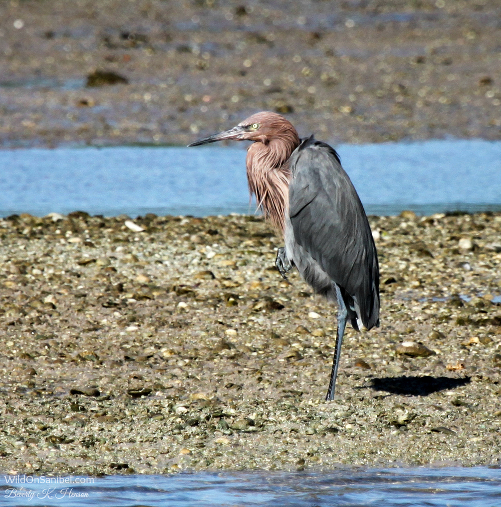 Reddish Egret taking a break