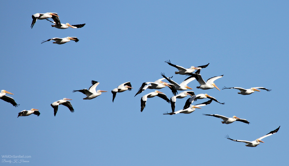 Loved seeing this big flock of White Pelican!