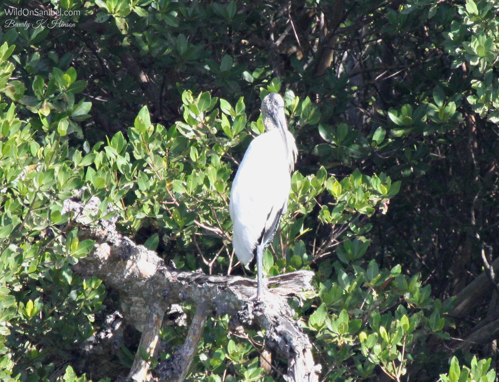 This pic of a Wood Stork and the photo of the pair below were taken from almost too far away.  This is the first time I've been this close to get a pic of one, though.