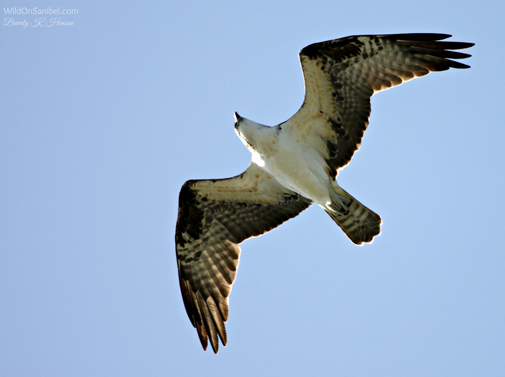Osprey trying to make his way through very strong winds.