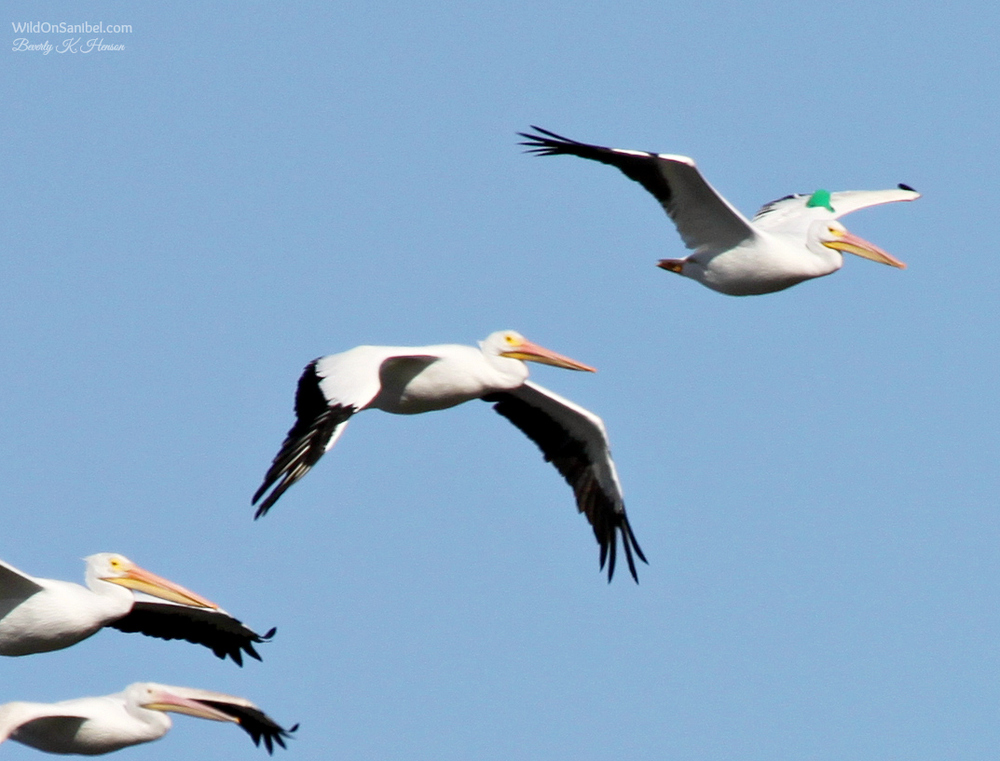 And then there is this conundrum . . . what is the green thing on the pelican's wing at the top right?