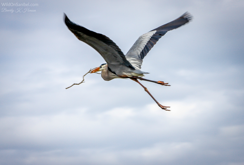 A graceful Great Blue Heron with nest material.  You can't miss these big guys flying overhead!