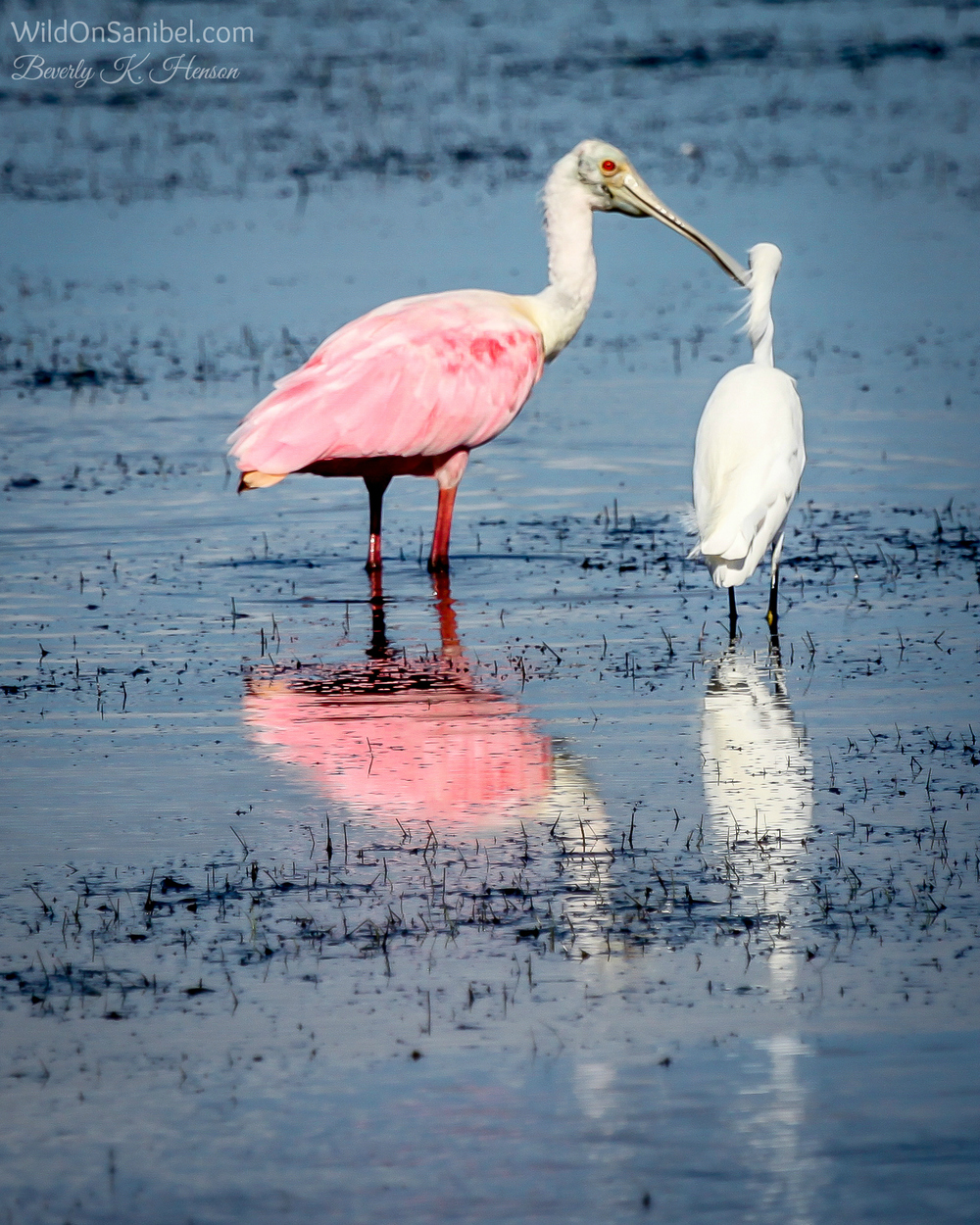 I love the Roseate Spoonbill.
