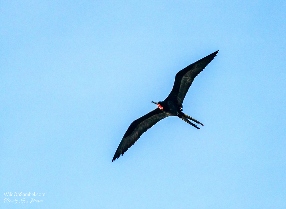 This bird is a Magnificent Frigatebird.  There were several over the water today, but this is as close as I could get to one, even with the long lens.  It isn't the best pic, but thought I'd share.