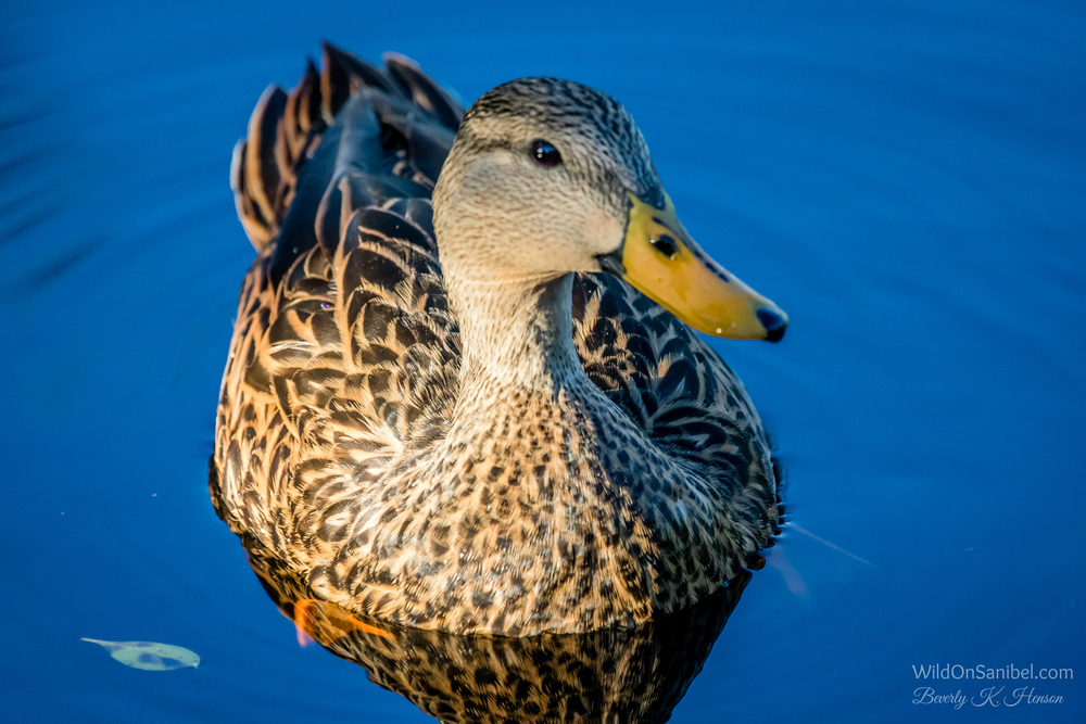 The afternoon sun acted as a spotlight on this pretty young duck.