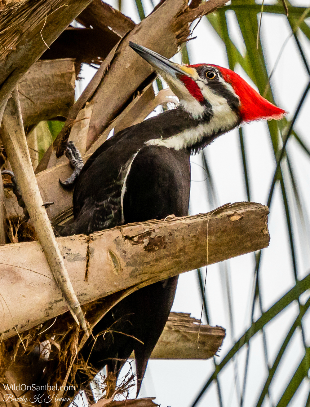 The Pileated Woodpecker (as in Woody Woodpecker) can be shy for pictures. I barely got this one before he took off.