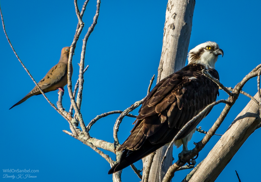 Shhh, go away! That Osprey doesn't know I'm here!!
