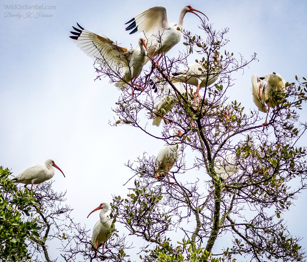 It's so funny to see a bunch of big Ibis land in the top of our tree where the branches can barely hold them up.