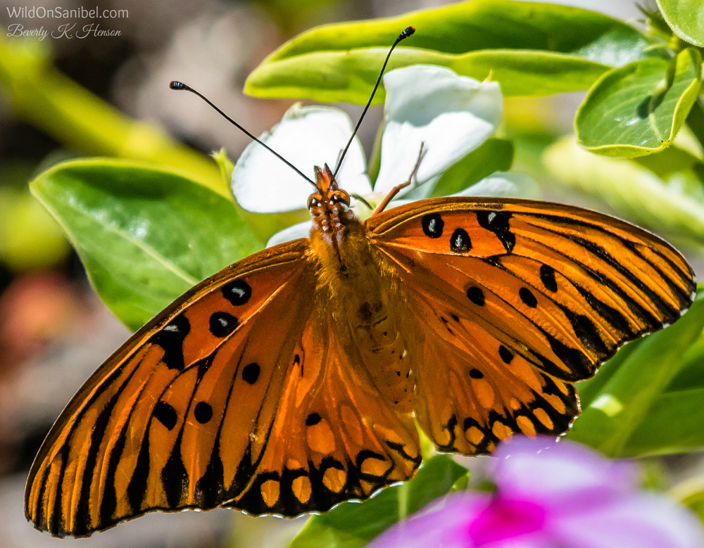 According to the butterfly guide, this is a Gulf Fritillary butterfly.