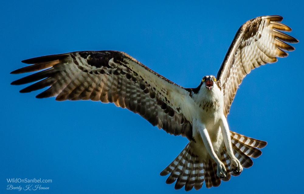If I could speak Osprey, I think he was probably telling me to go away!!