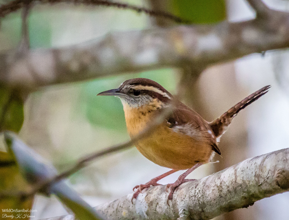 I had to search around, but finally figured out that this is a Carolina Wren.  It had a very loud chirp for such a little thing!