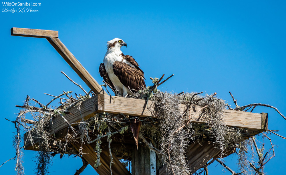The Ospreys continue to build their nest.  One thing is for sure, they are not very neat nest builders!