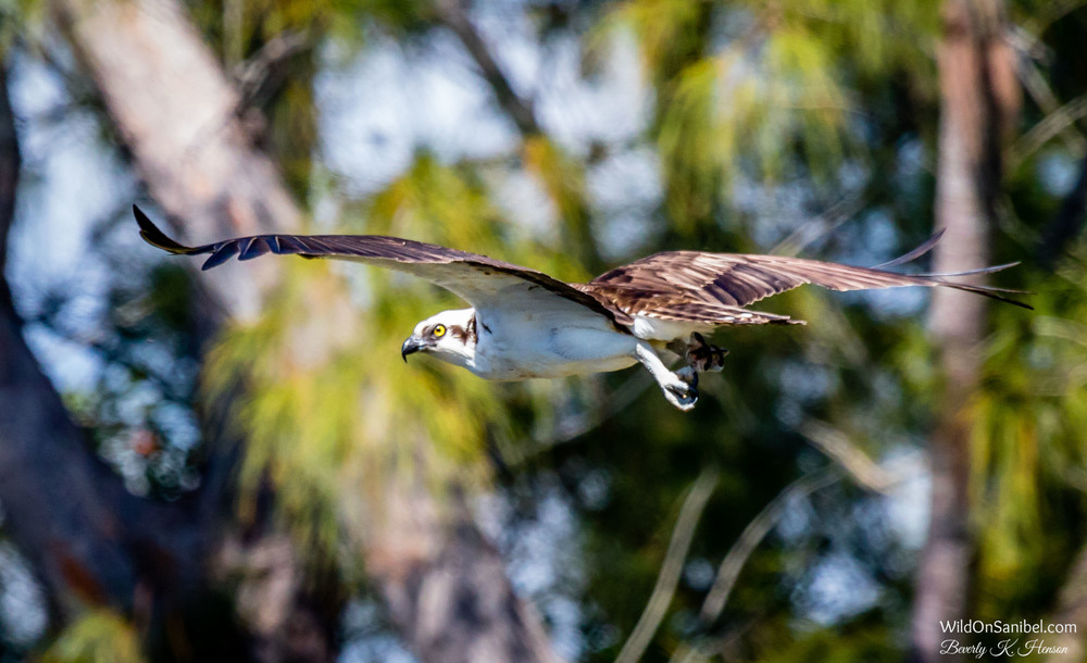 He got nervous with me watching, so he flew to a nearby tree.  But, he kept an eye on me the whole time!