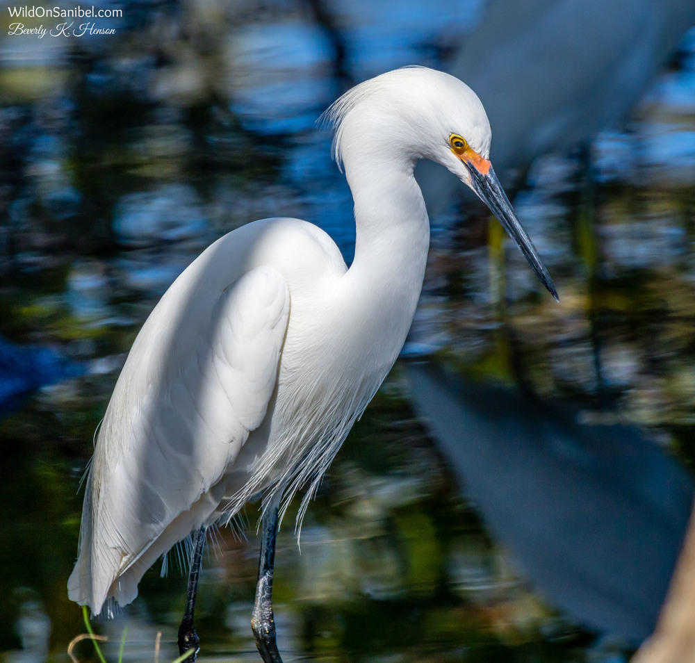 Lots of Egrets around the water at the edge of our yard.