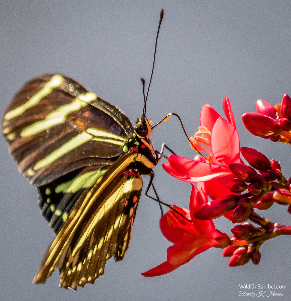 This hungry butterfly was pretty cooperative today.
