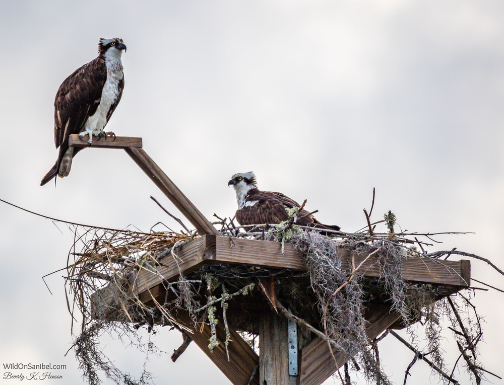 The pair of Osprey were guarding the nest this morning, overlooking the lake and the ducks!