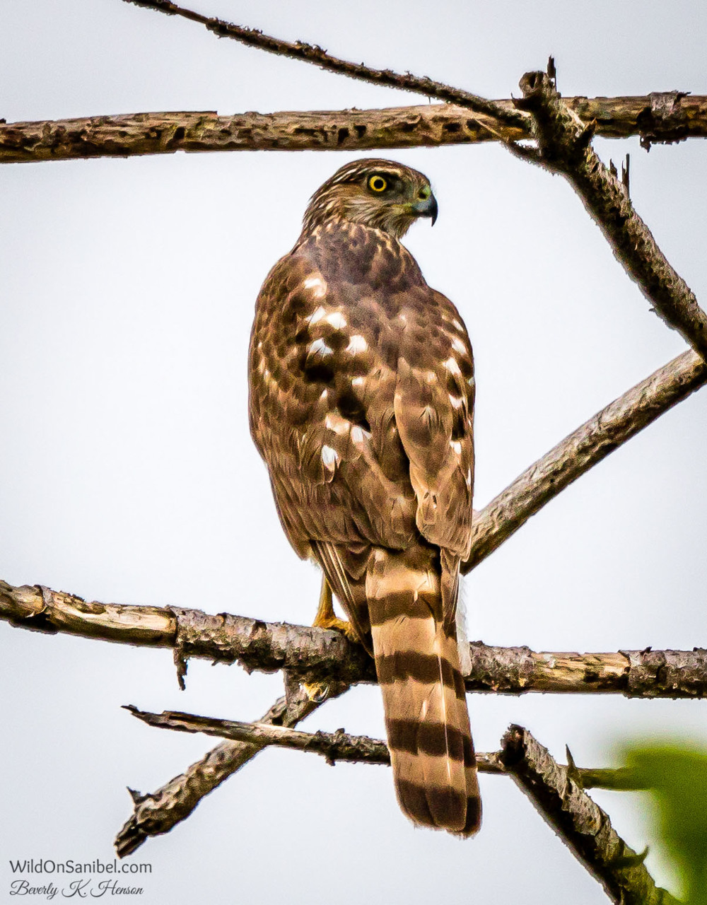 Saw this hawk sitting in a tree across the street from our home.