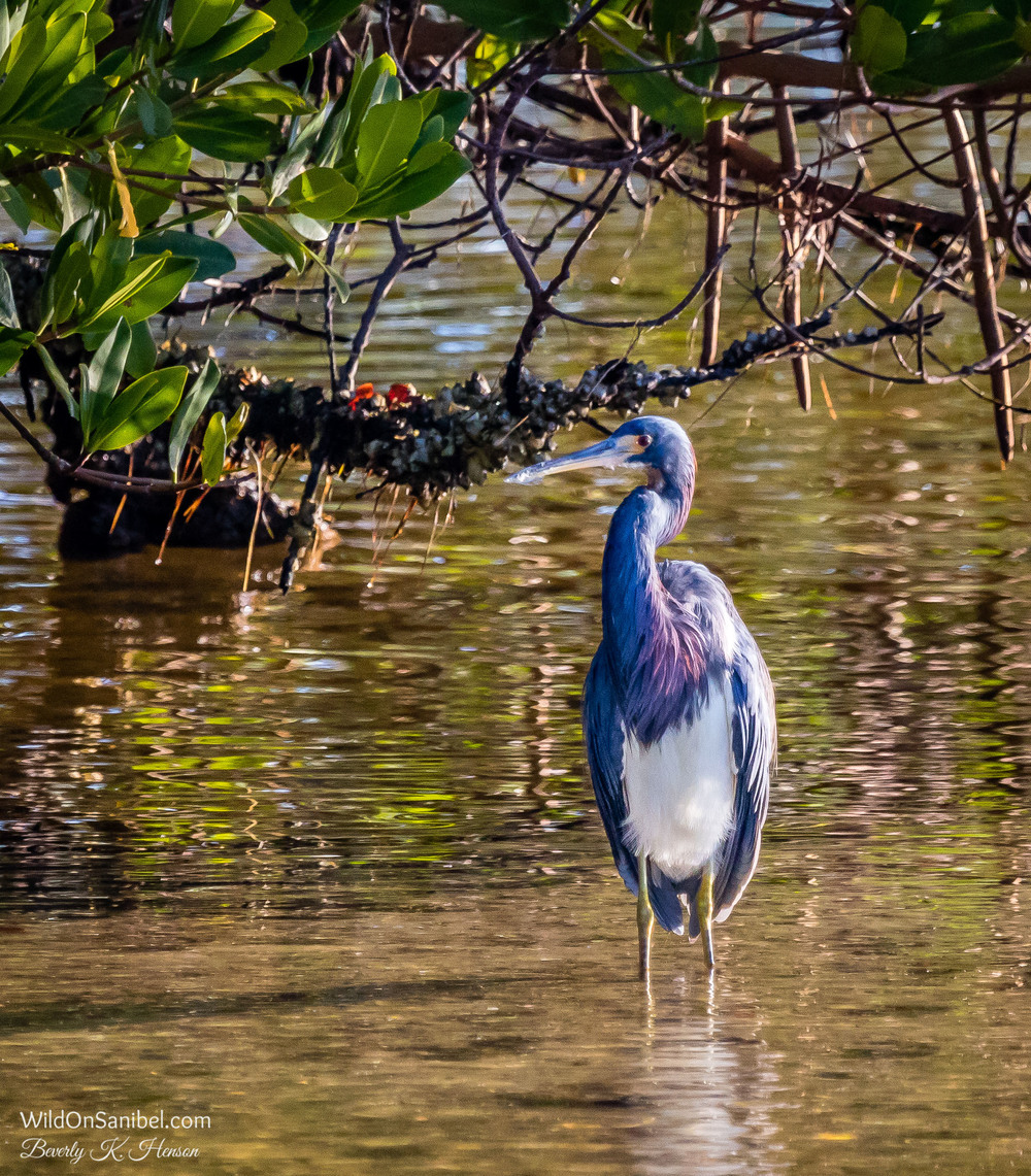The bright morning sun made this Heron have some amazing colors!