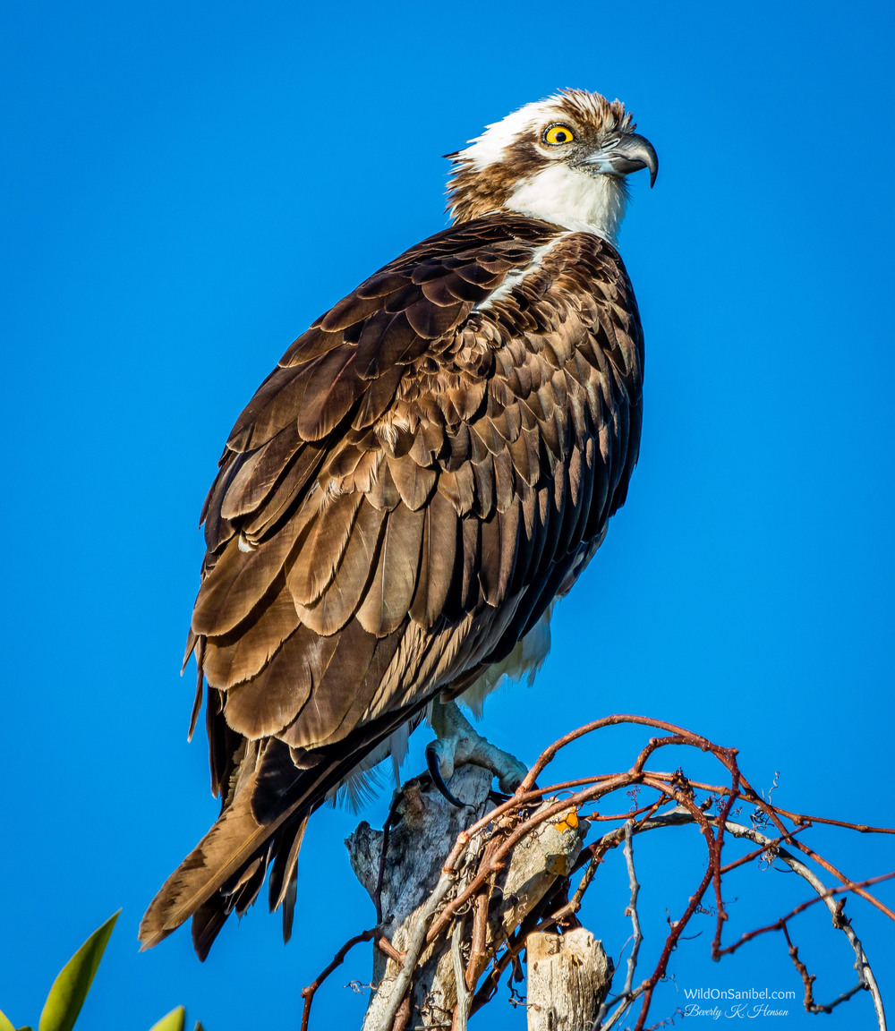 Yes, I can get great Osprey photos in my back yard, but I couldn't pass this one up! He seemed to be posing for all the photographers.