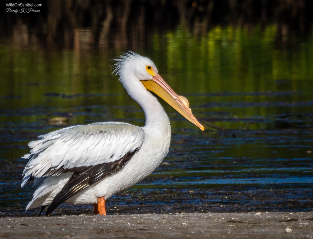 This White Pelican had a particularly large bump on his beak. I read that this happens during mating season and it is shed at the end of breeding season. Interesting!