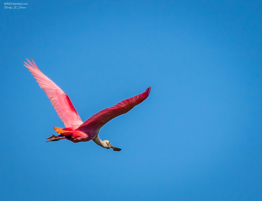 I had a chance to get several Spoonbill Roseate photos today. I kinda went a little crazy with it!