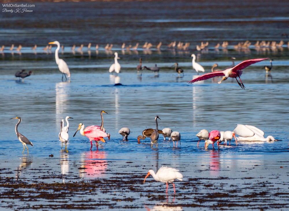 And yeah, I do like taking photos of the Roseate Spoonbills!