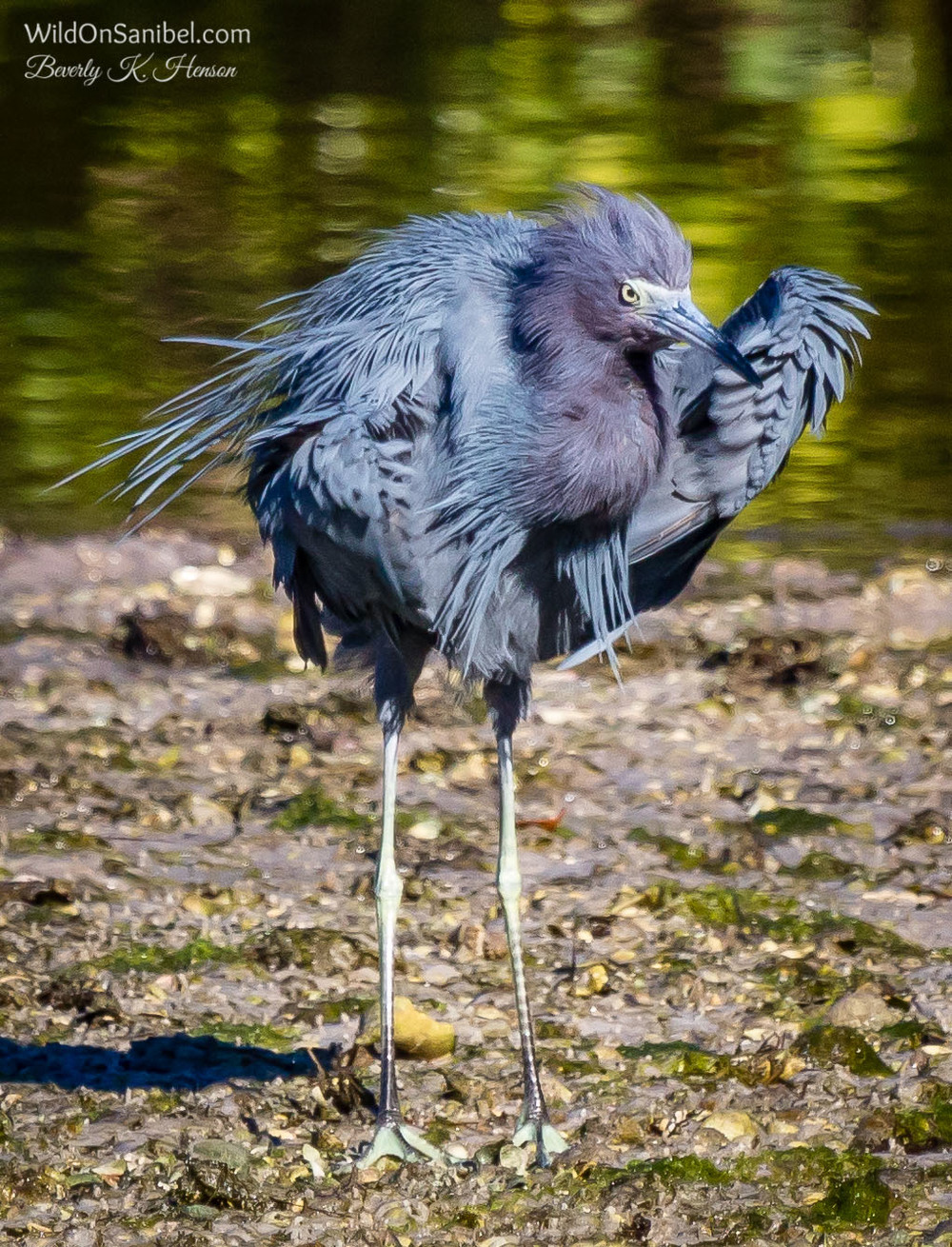 """This Little Blue Heron is dancing to Taylor Swift's """"Shake It Off"""""""