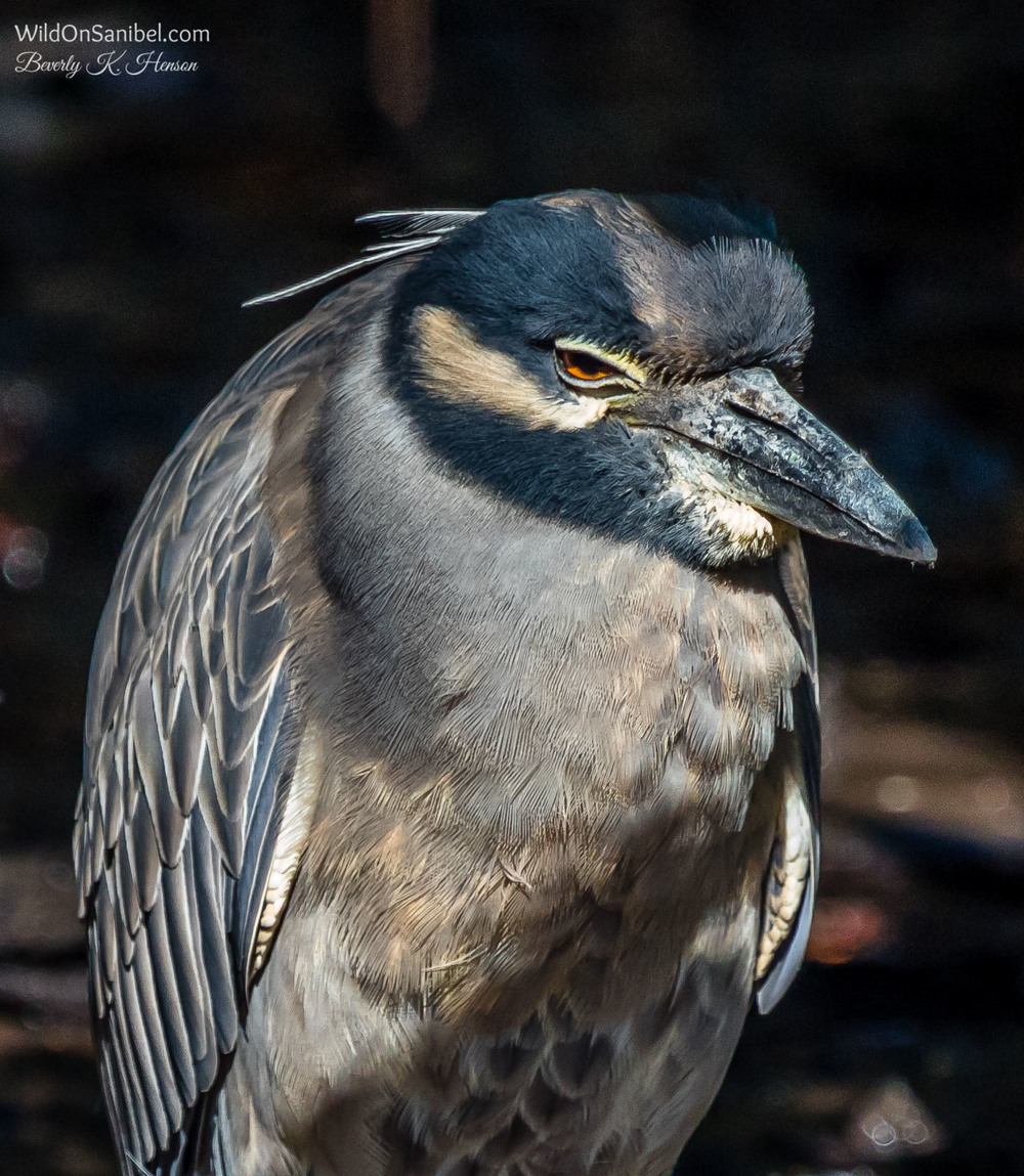 Right beside the juvenile was the adult Yellow-Crowned Night Heron looking quite bored!