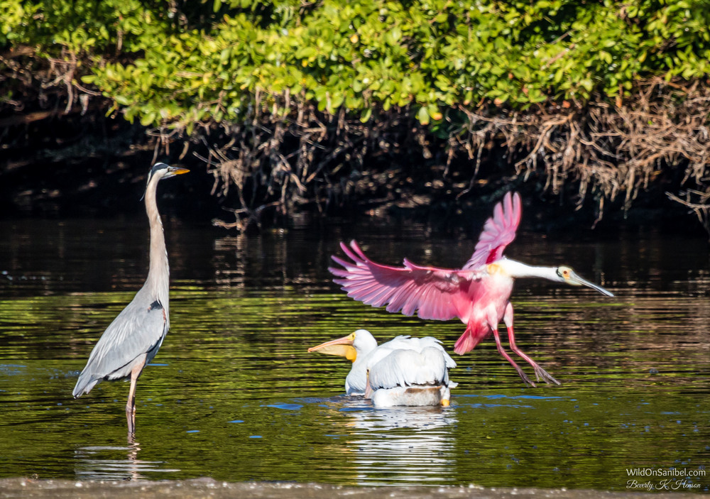 This isn't a great photo, but I love the dorky landing of the Spoonbill beside the graceful Great Blue Heron and the White Pelicans.