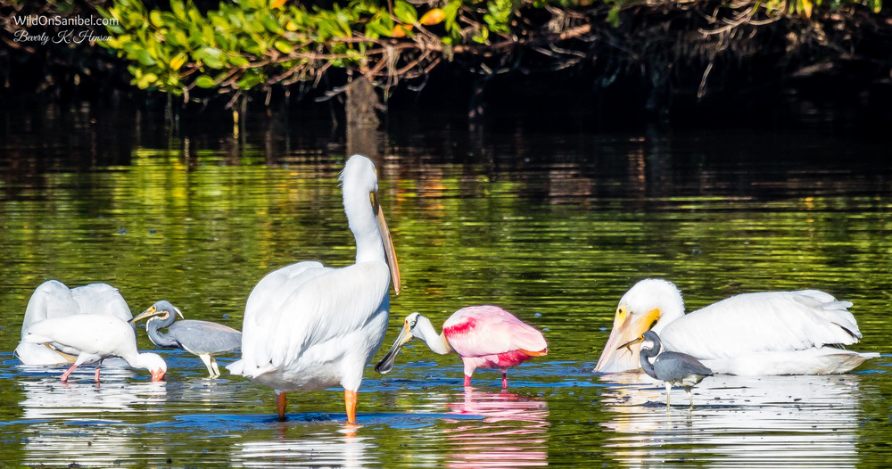 This was a complete feeding frenzy! They must have found a pocket of shrimp (see the one in the beak of the Heron on the right).