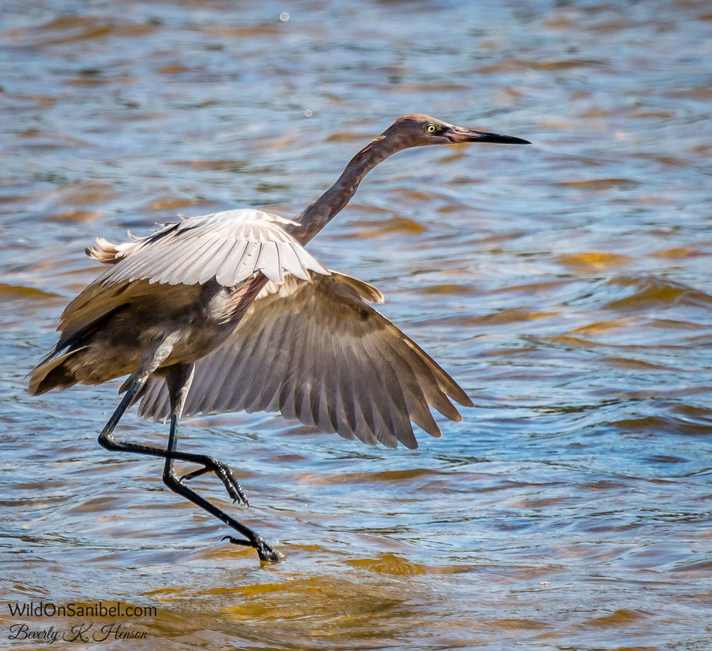 Reddish Egret doing his dance!