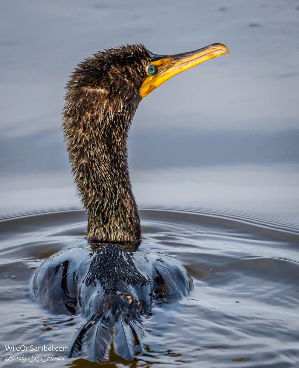 This Cormorant seemed to be having a successful dive for breakfast.