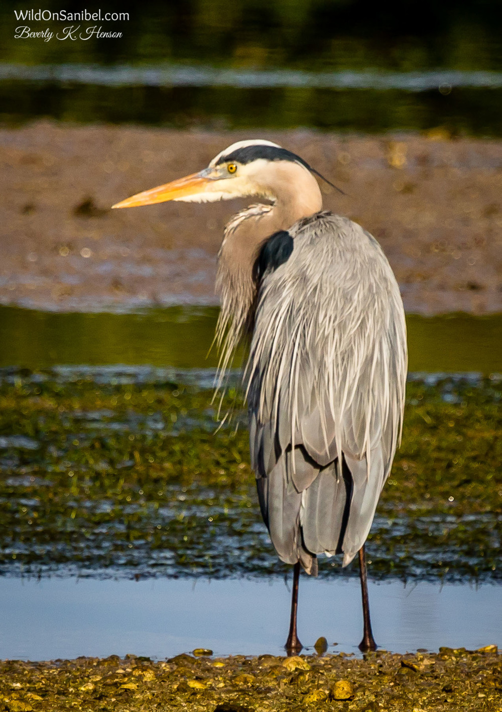 Love getting to see a Great Blue Heron!