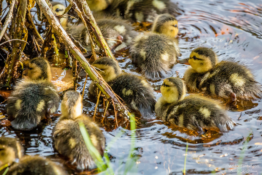 "I had a favorite uncle who would have said, ""There were just whirls and whirls of baby ducks!"""