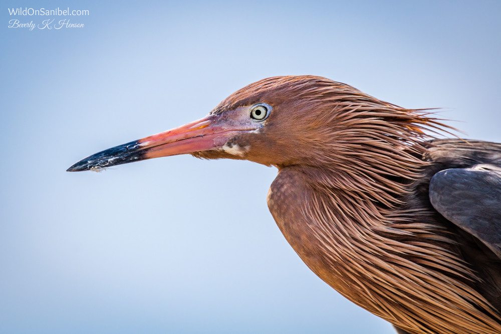 This Reddish Egret was posing so nicely on top of the roofed portion of the pier structure.