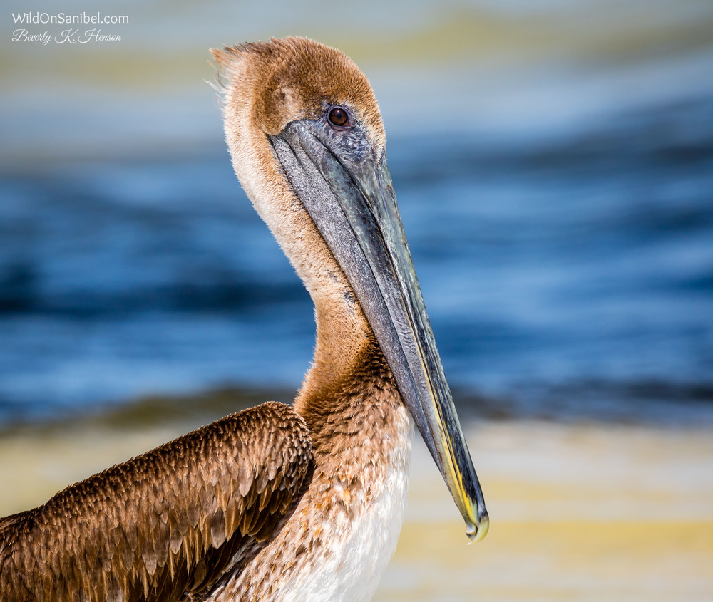 The Brown Pelicans decided that it was their turn to be photographed.
