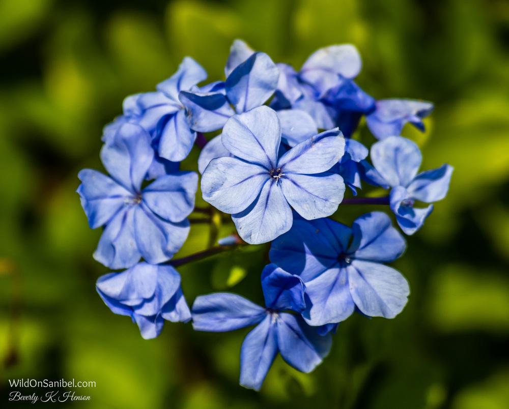 Blue Plumbago shrub.