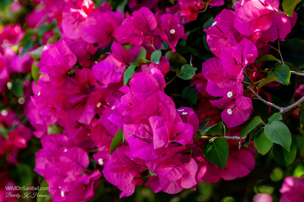 Pink Bougainvillea makes lots of pretty color!