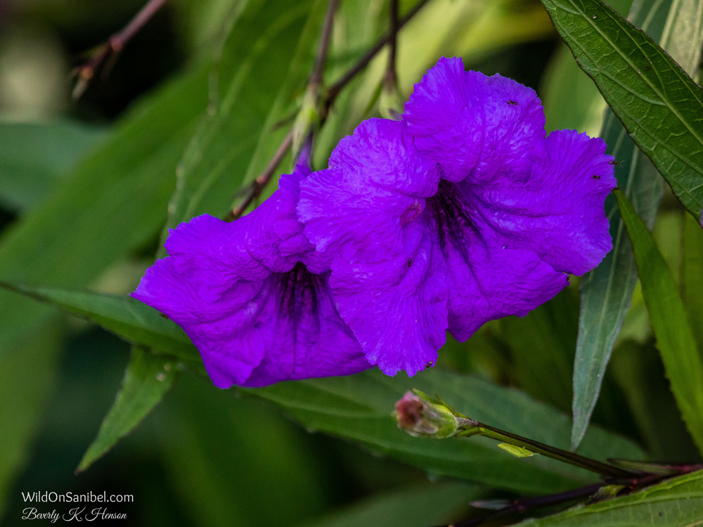 Mexican Petunias are non-native and considered invasive, but they still provide some pretty color!