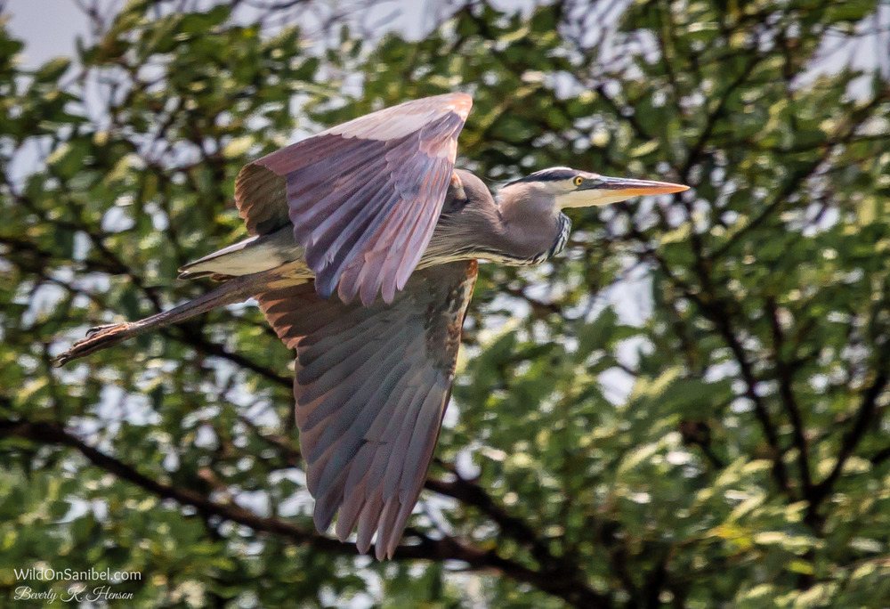 This Great Blue Heron seemed to come from nowhere and flew by. I barely had time to snap a couple of photos.