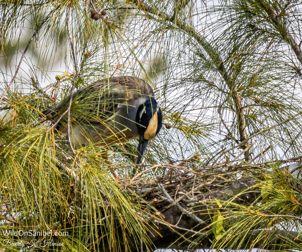 Back at our house, this Yellow-Crowned Night Heron seems to have the nest just about ready. It turns out there are two nests in the tree.