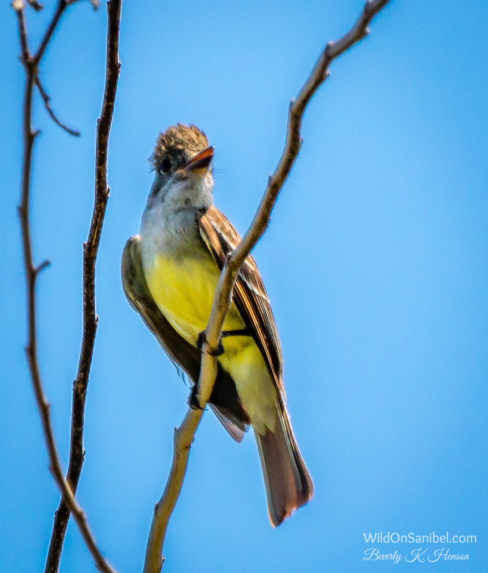 This bird is a Great Crested Flycatcher.  I think he has a new perm!