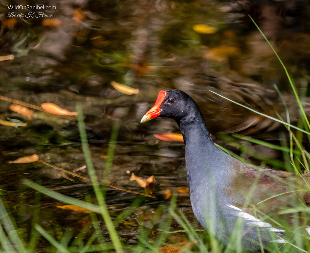 My neighbor keeps an eye out for wildlife for me to photograph.  She called today to tell me that this Common Gallinule was at the edge of the water in her backyard.  He wasn't too pleased to see me and was gone before I could get a good photo.  Hopefully, he will be back soon!